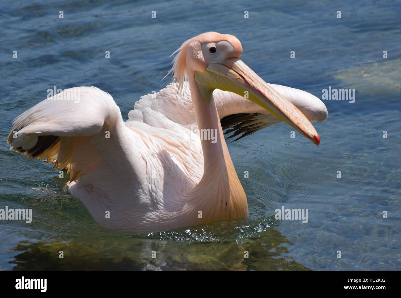 A Pelican in Cyprus by the dock Stock Photo