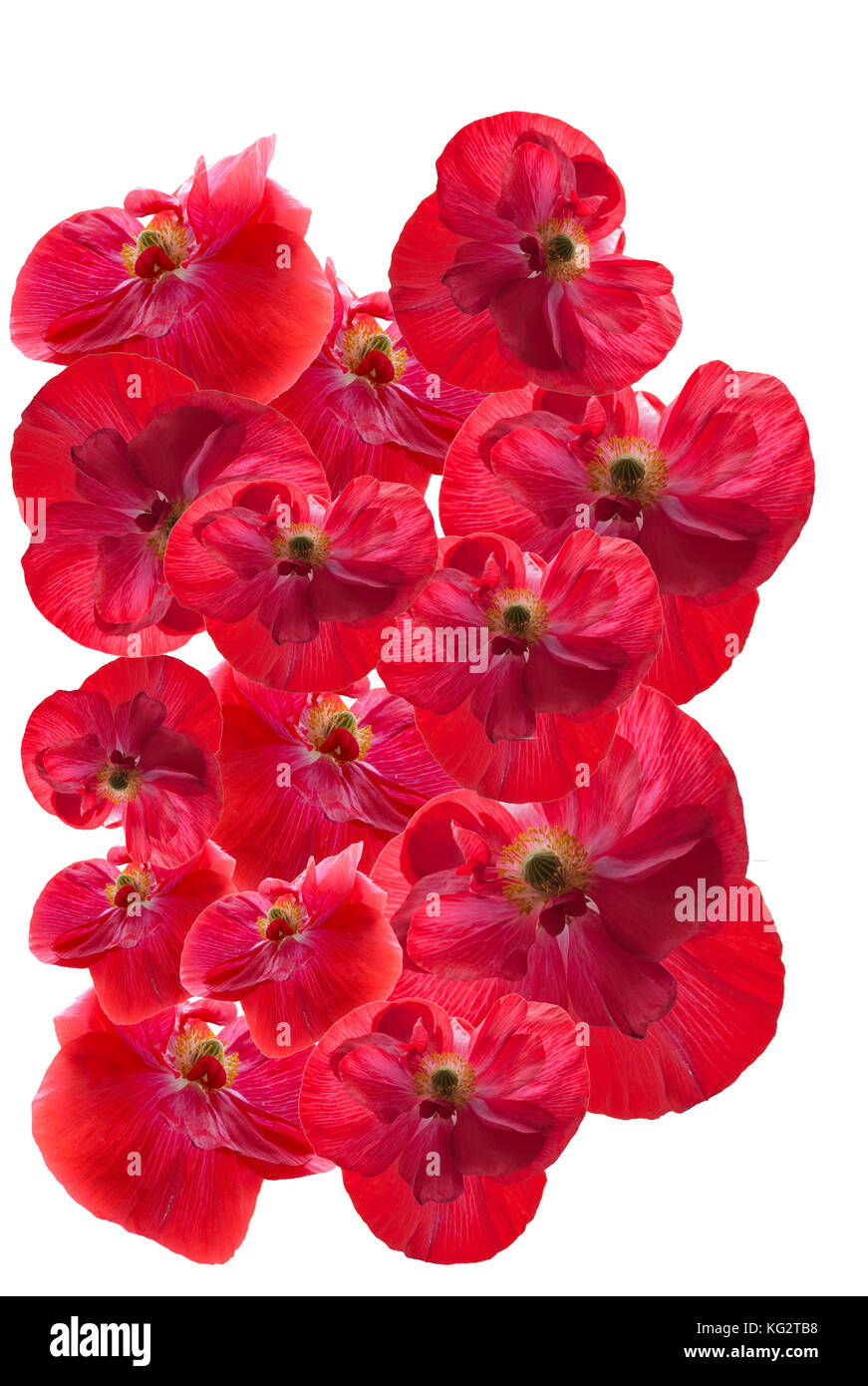 Beautiful memorial Poppies on a white background grouped together. - Stock Image