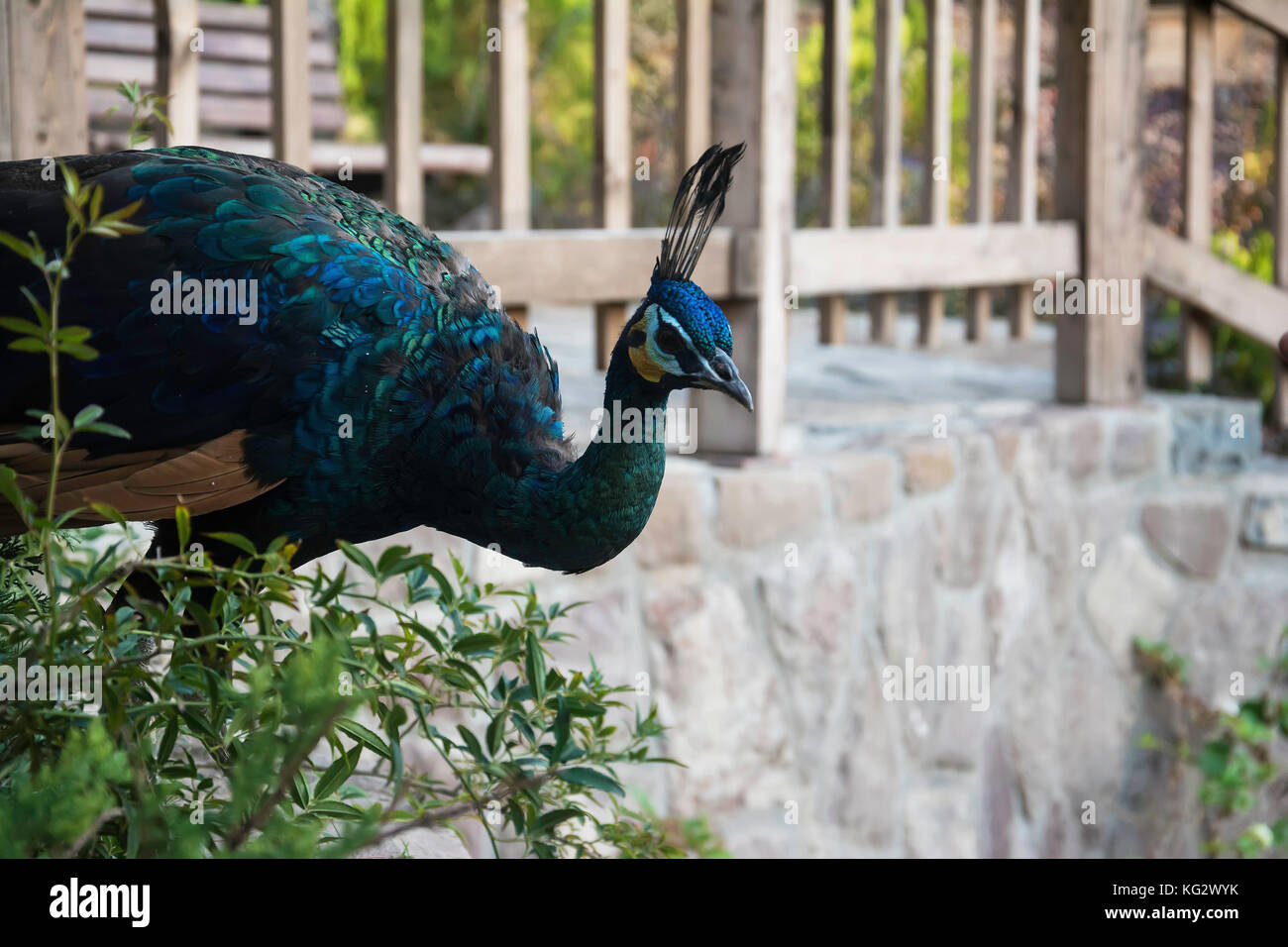 Peacock at Birds Park in Tehran City Area. - Stock Image