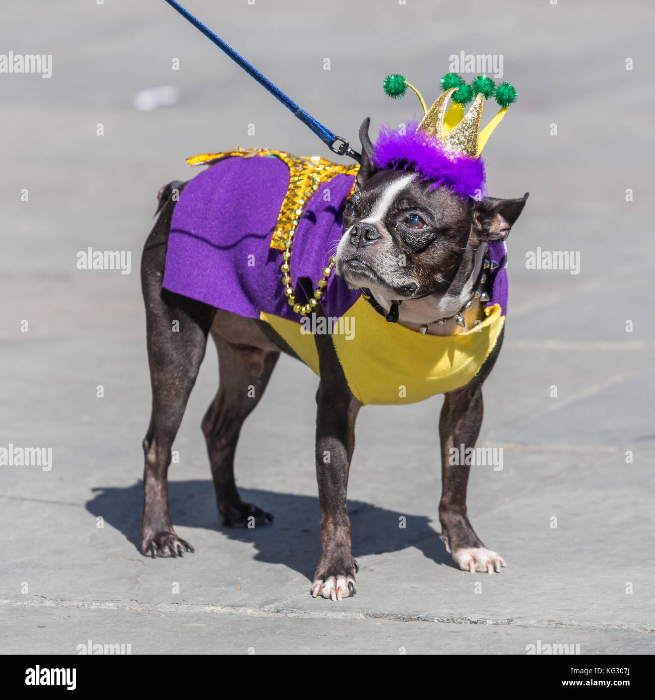 Cute dog dressed up in costume for Mardi Gras in New Orleans Louisiana & Cute dog dressed up in costume for Mardi Gras in New Orleans Stock ...