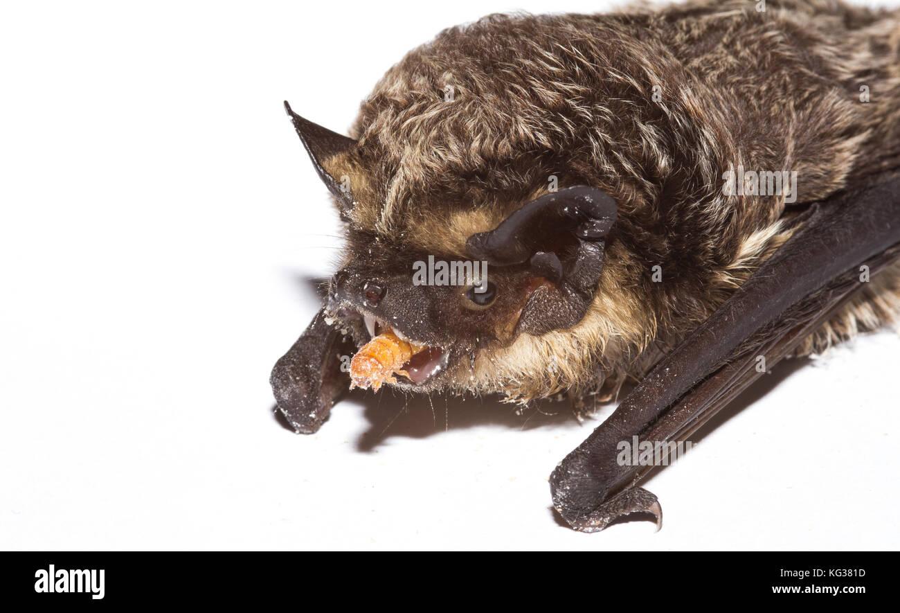 Parti-coloured bat (Vespertilio murinus) eating mealworm (Tenebrio molitor), photographed indoor, Europe, Serbia - Stock Image