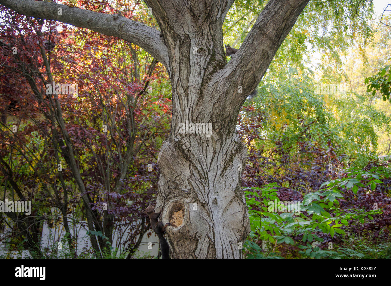 Squirrels playing on tree - Stock Image