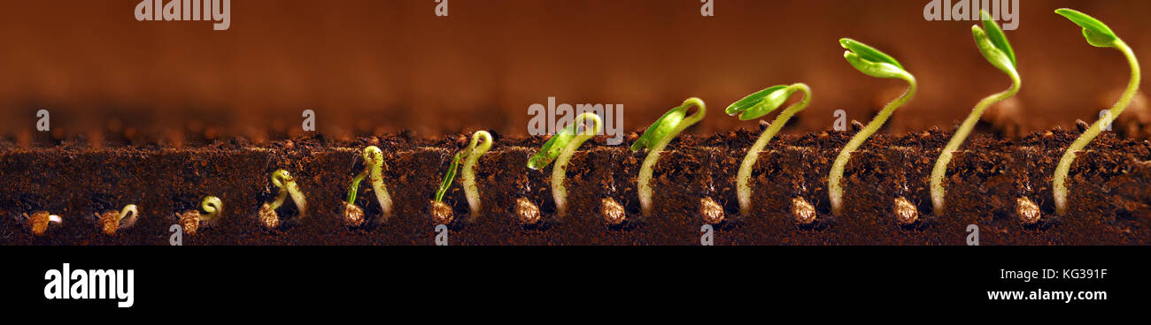 Seedlings growing. Plants grow stages. Seedlings growth periods. - Stock Image