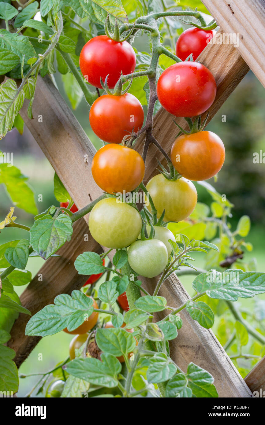 Bunch Of Red, Orange And Green Cherry Tomatoes Growing On Trellis In A  Garden
