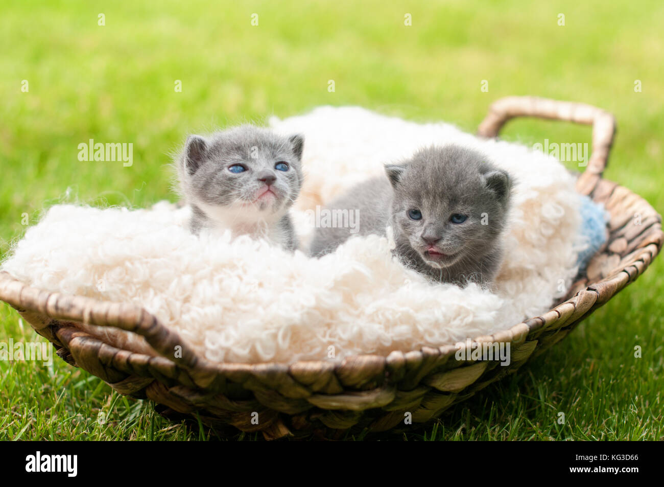 Two sweety kittens in old wooden basket - Stock Image