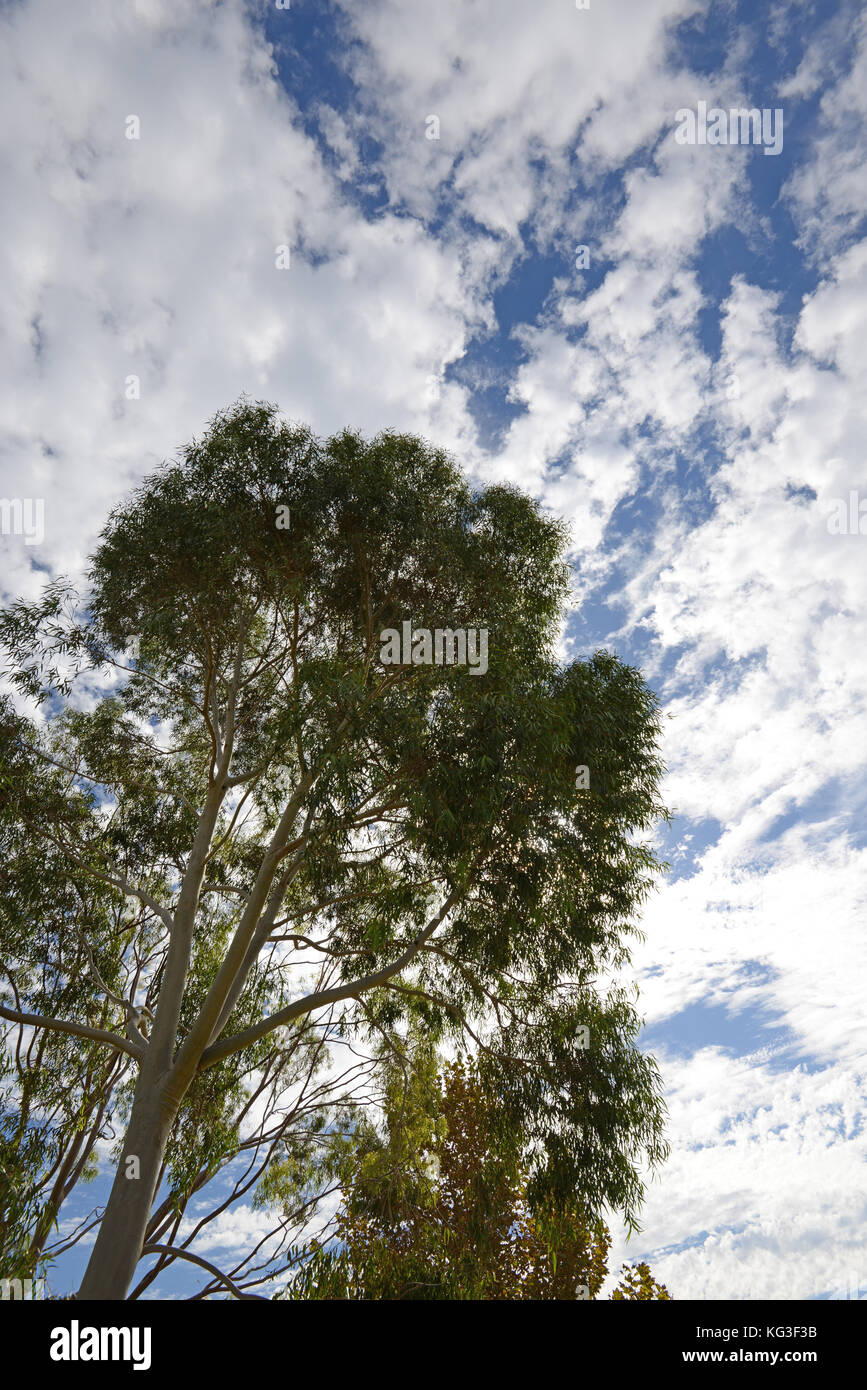 Eucalyptus - Perth, Western Australia - Stock Image