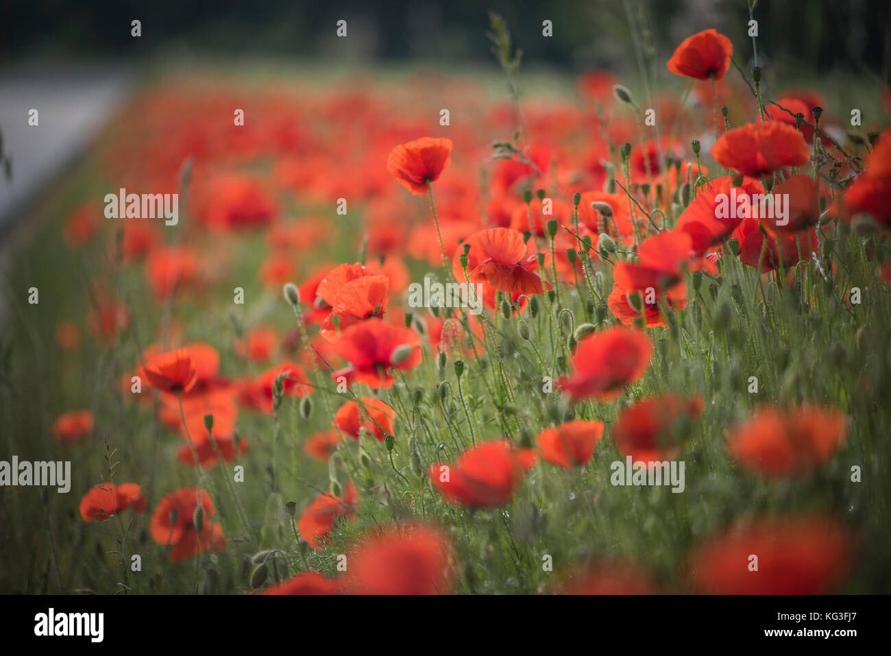 Wild field poppies growing in northern France - Stock Image