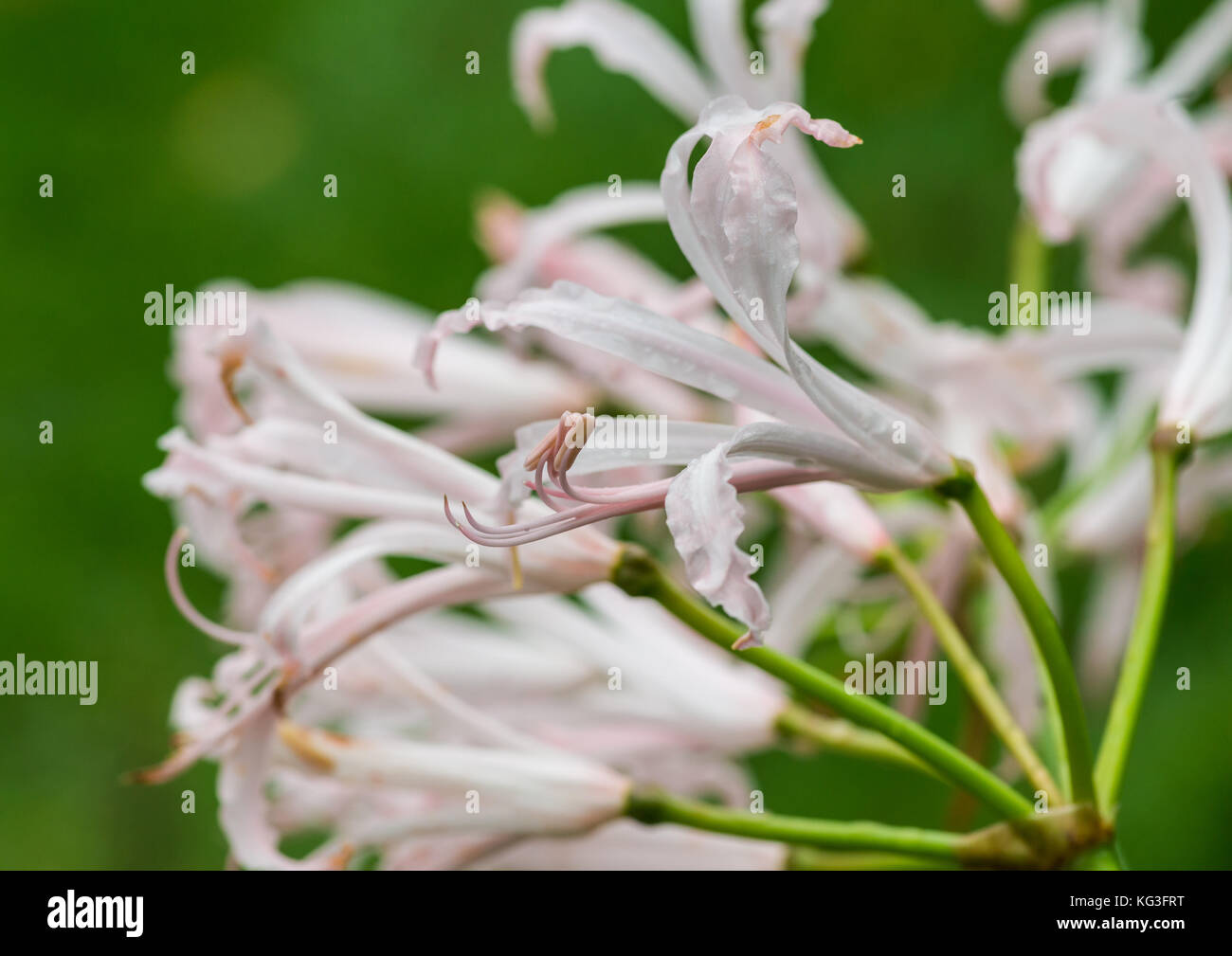 A macro shot of the blooms of a nerine bowdenii plant. - Stock Image