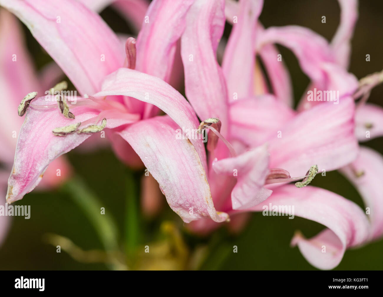 A macro shot of a nerine bloom. - Stock Image
