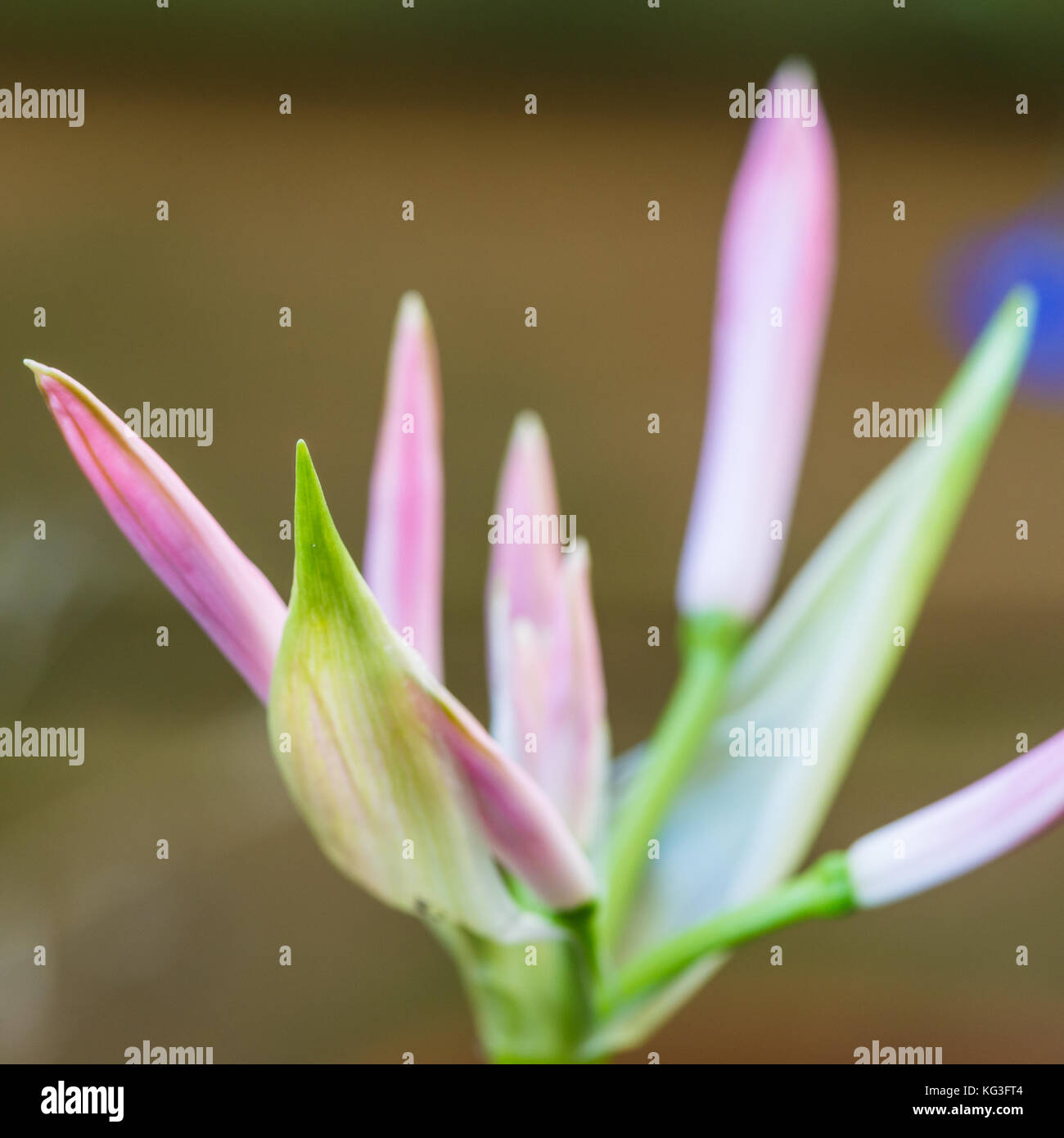 A macro shot of the pink flower buds of a nerine. - Stock Image