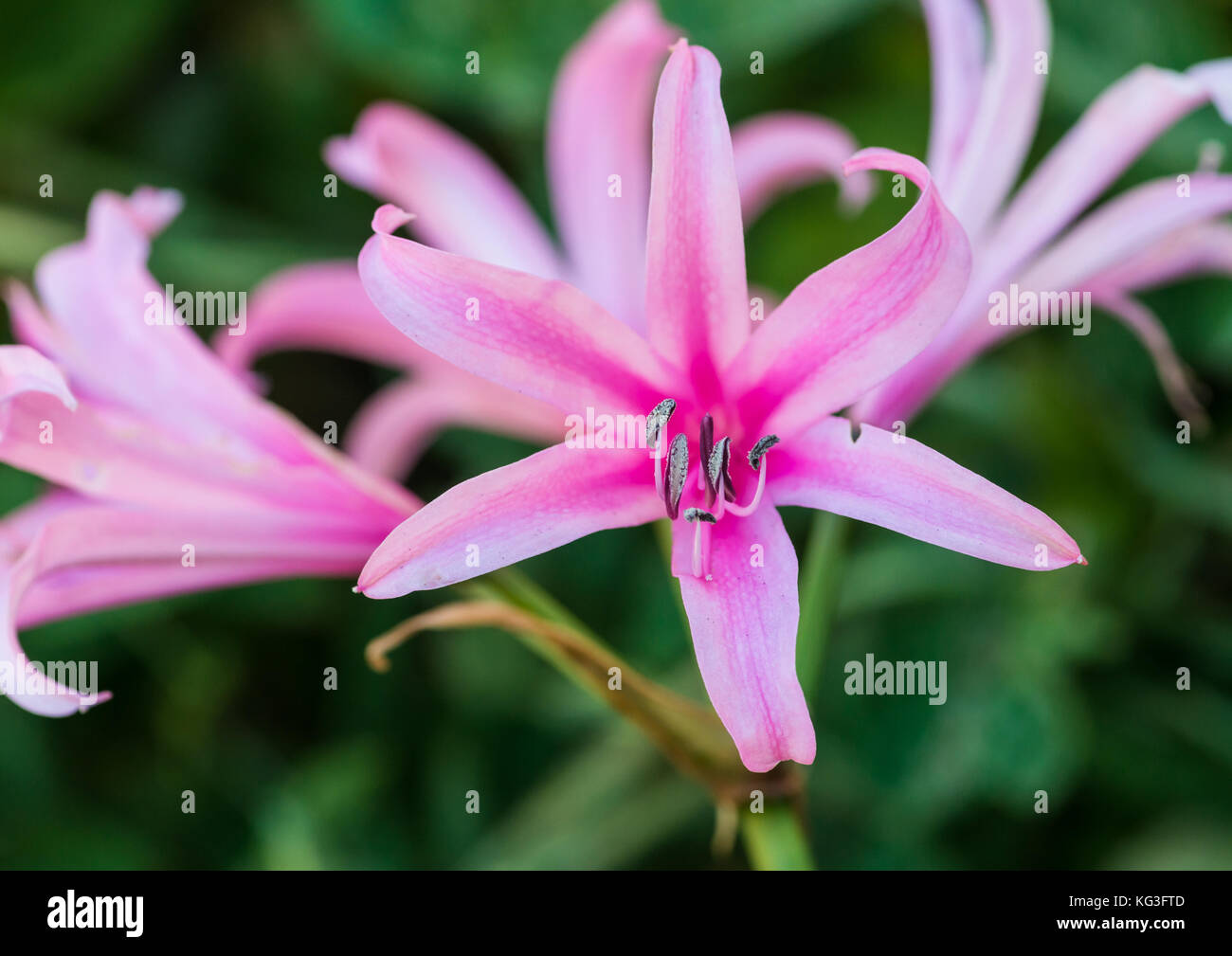 A macro shot of a pink nerine bowdenii. - Stock Image