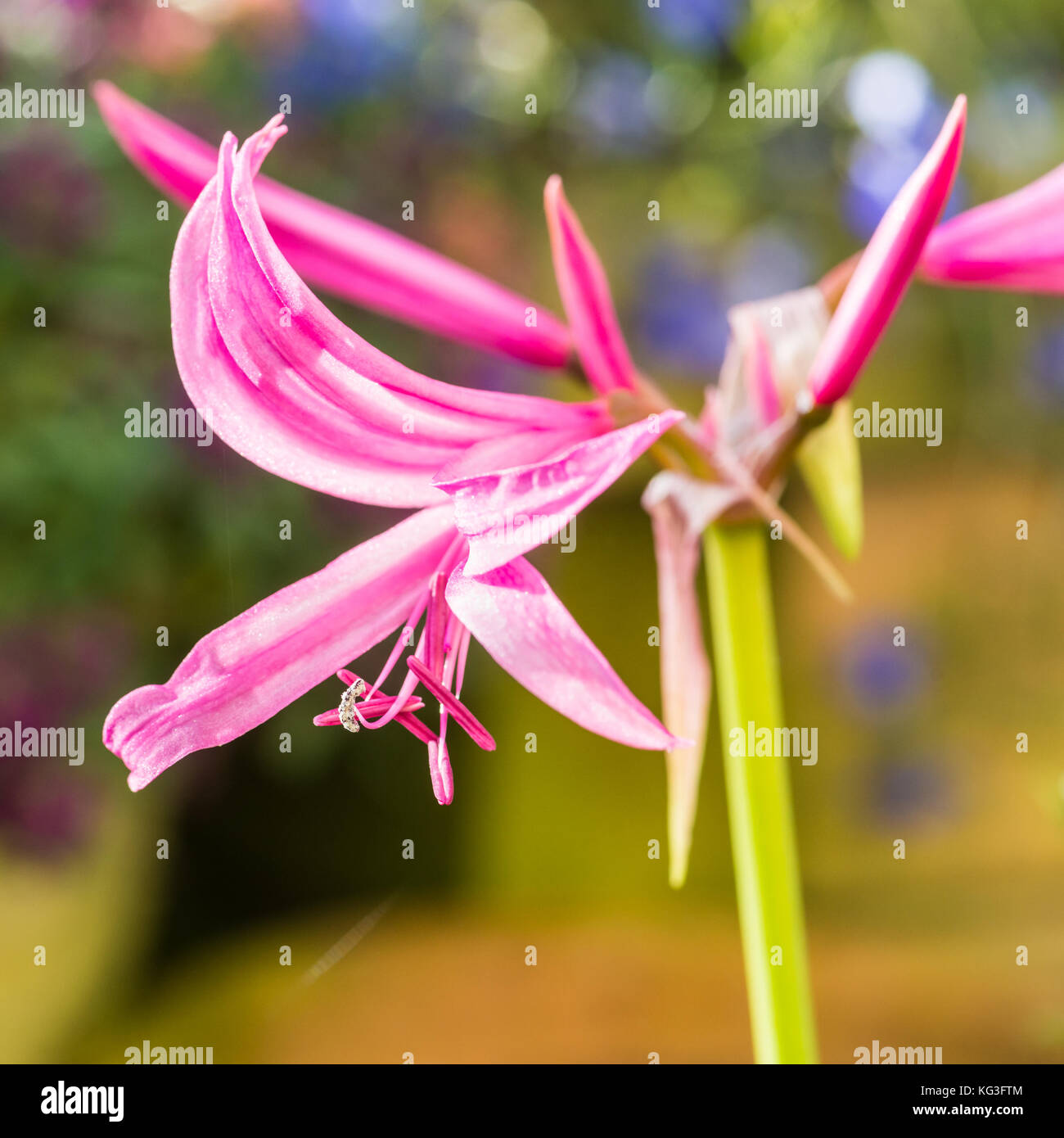 A macro shot of a pink nerine bowdenii bloom. - Stock Image