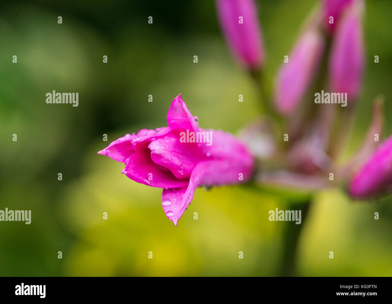 A macro shot of a pink nerine flower bud opening. - Stock Image
