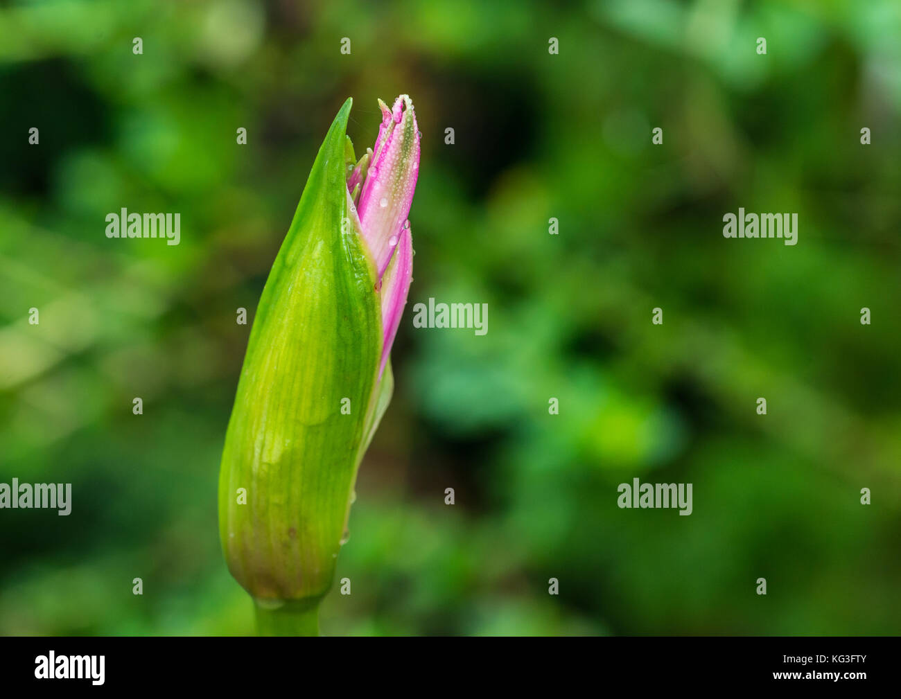 A macro shot of a pink nerine flower bud. - Stock Image