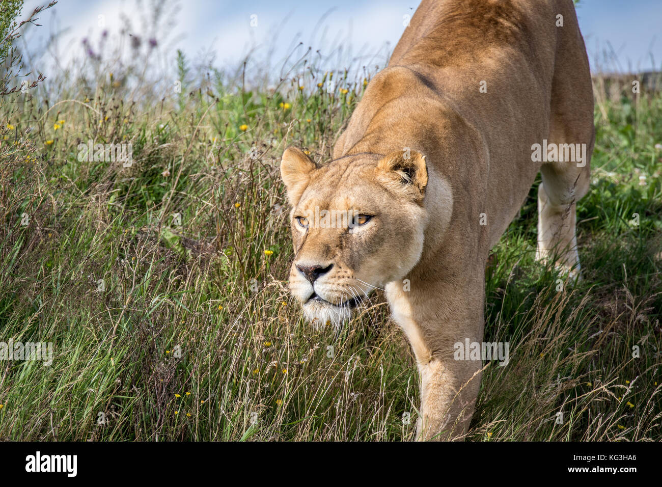 A lioness stalks another lion at the Yorkshire Wildlife Park - Stock Image