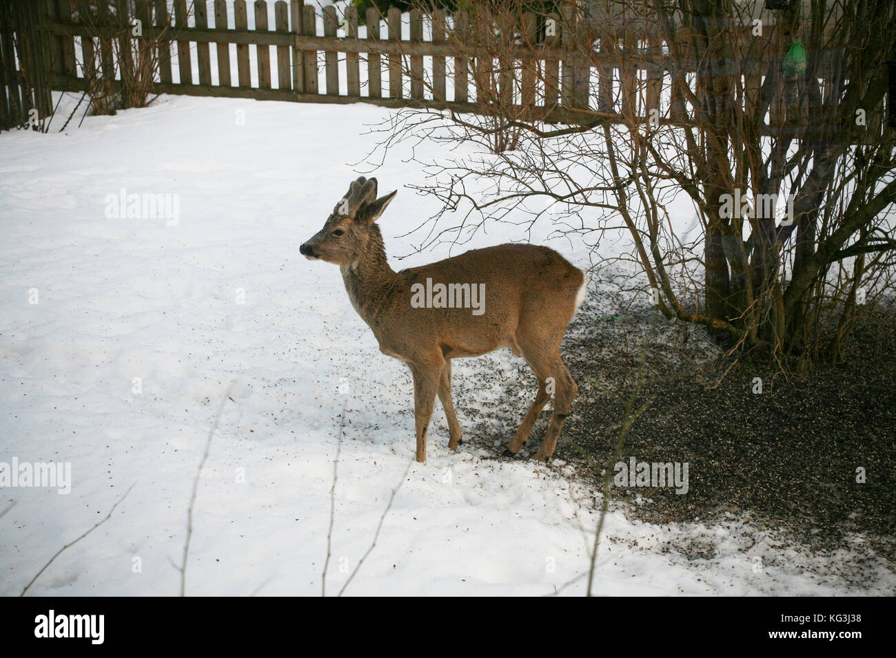 ROE DEER in the villa garden seeks food during bird feed 2013 - Stock Image