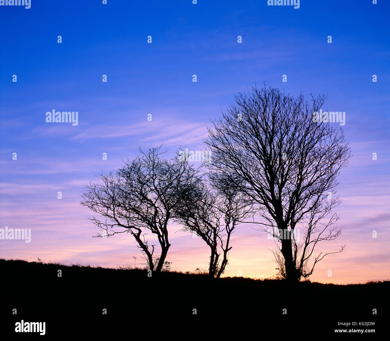 Channel Islands. Guernsey. Silhouette of leafless trees in winter sunset. - Stock Image