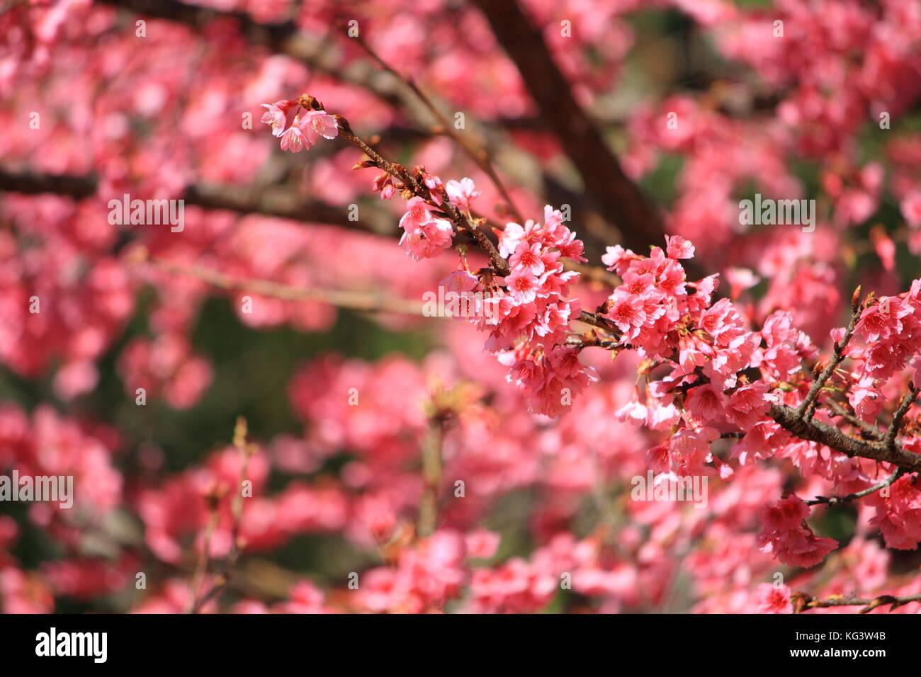 Pink Flower Chinese Plum Japanese Apricot Prunus Mume Stock Photo