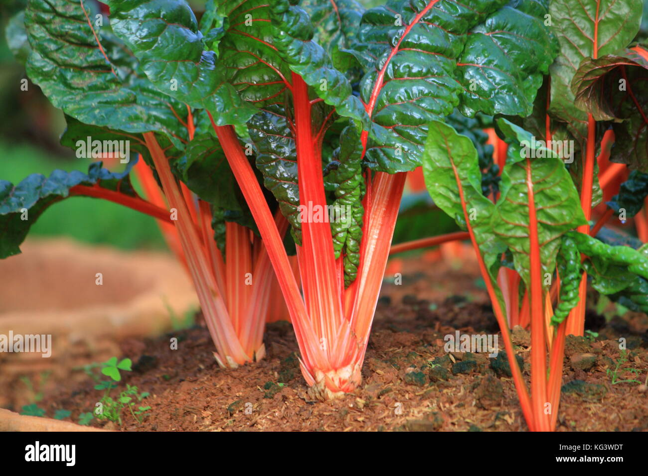 Swiss Chard. rainbow colors vegetable in a plantation. Stock Photo
