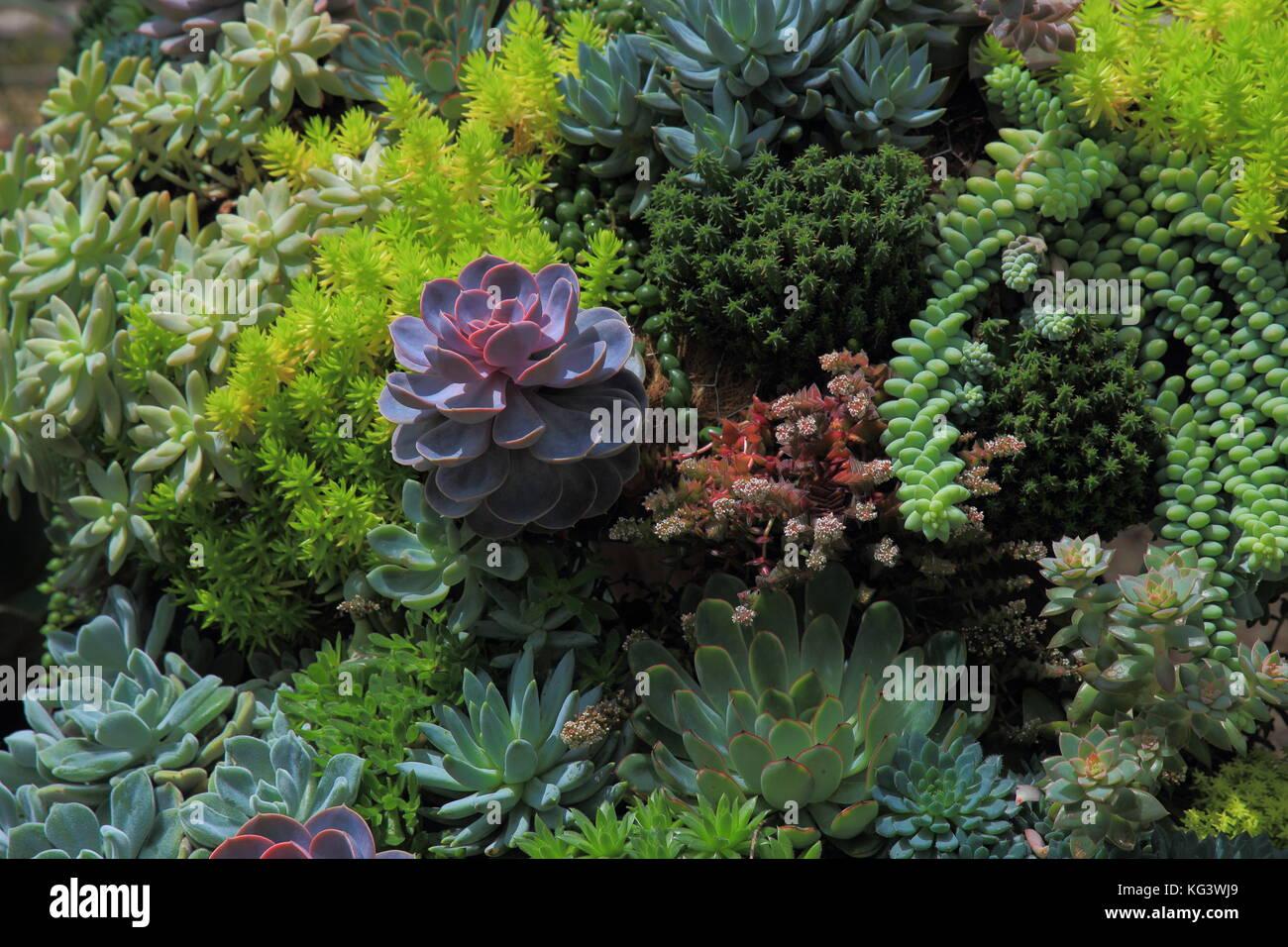 Miniature Garden With Purple Succulent Plant Among Lush Green Plant Stock Photo Alamy