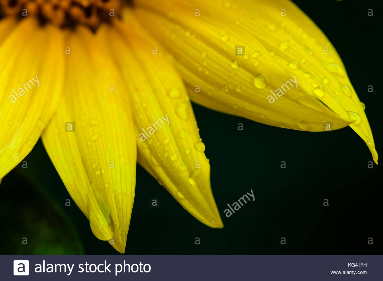 Raindrops cling to the petals of the Common Sunflower following an afternoon shower in mid-July - Stock Image