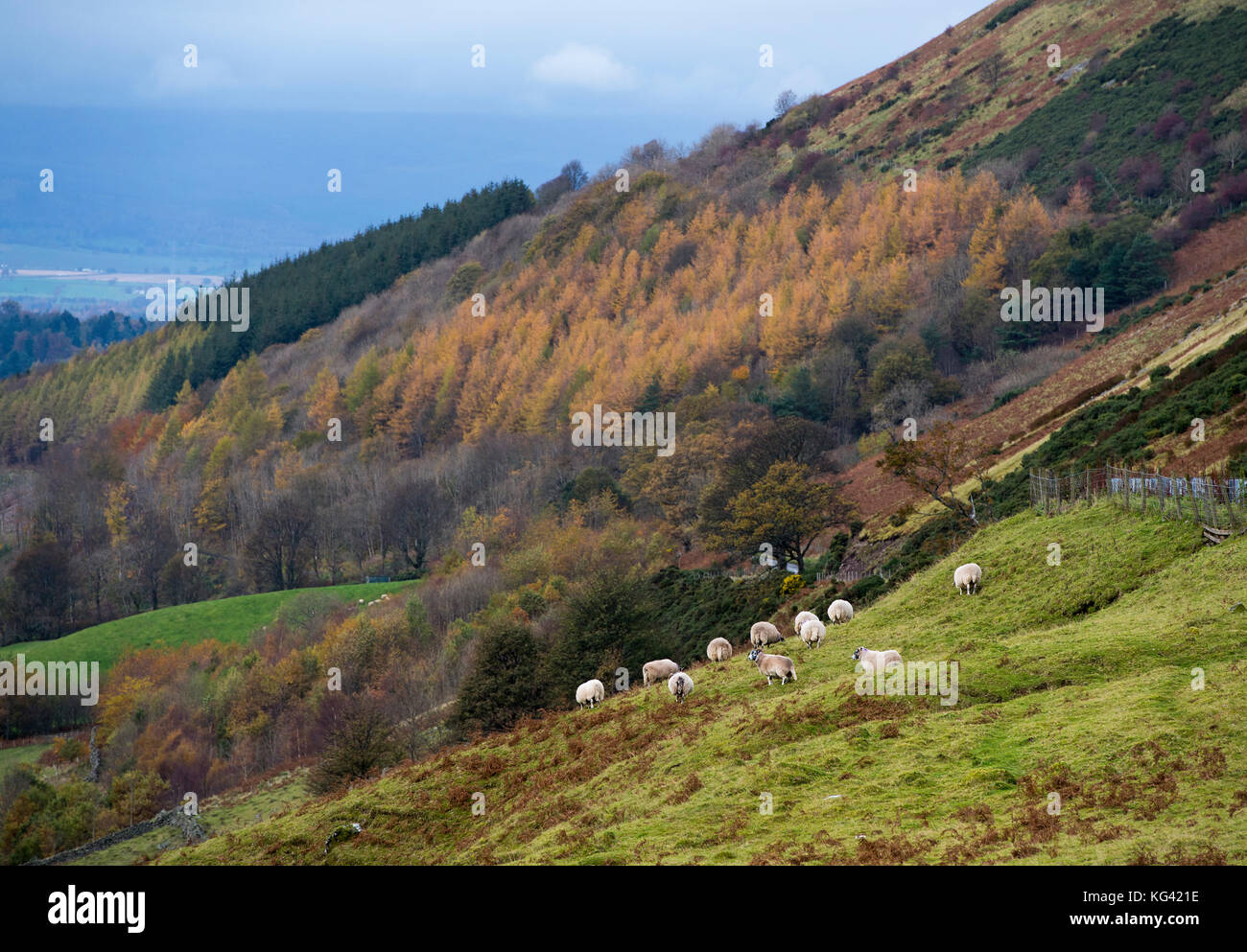 Sheep grazing on a hillside in Glendevon, Perthshire, Scotland. - Stock Image