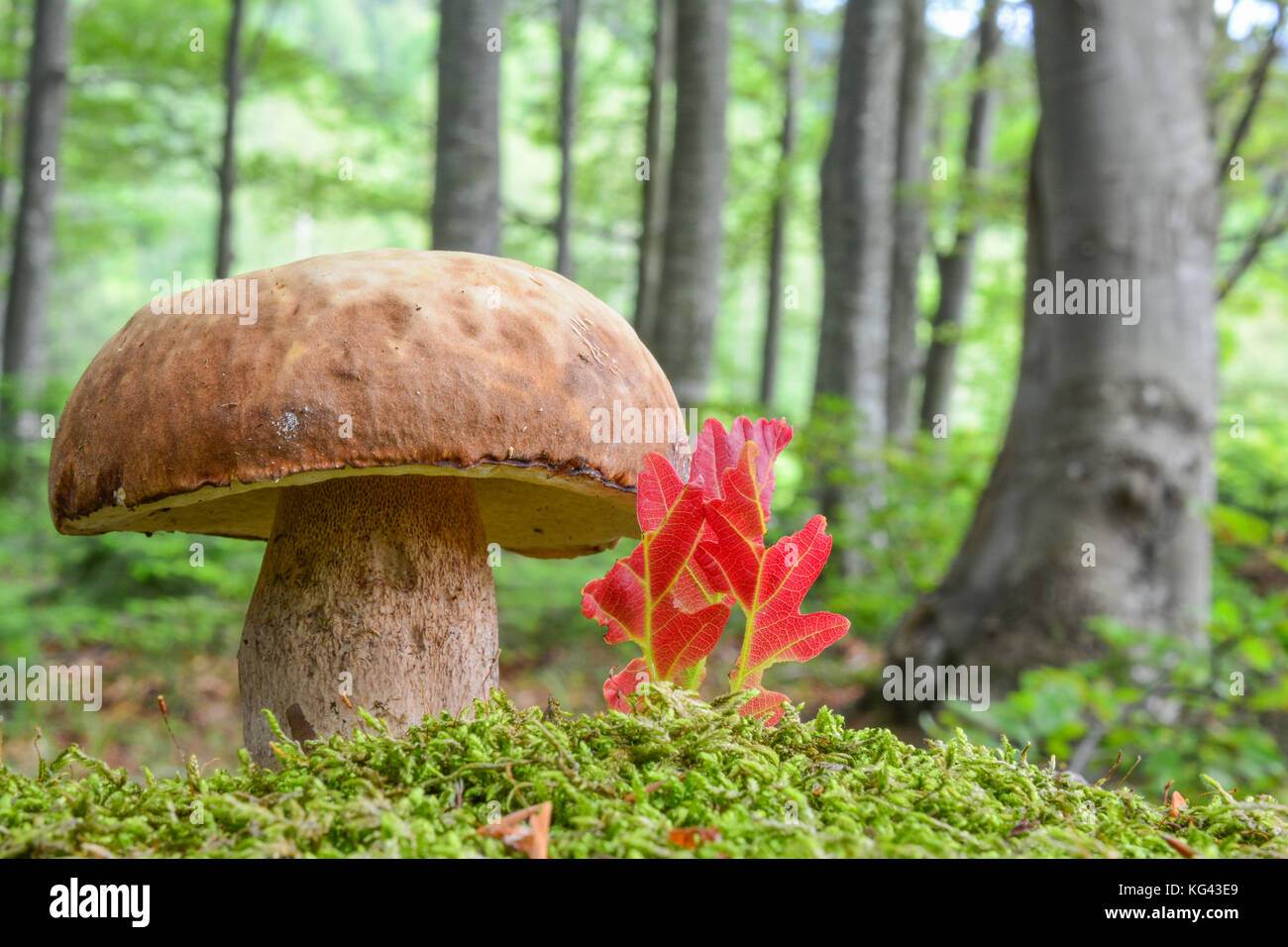 A fine example of young, fully developed Summer Bolete or Boletus reticulatus in natural habitat, beech forest, - Stock Image