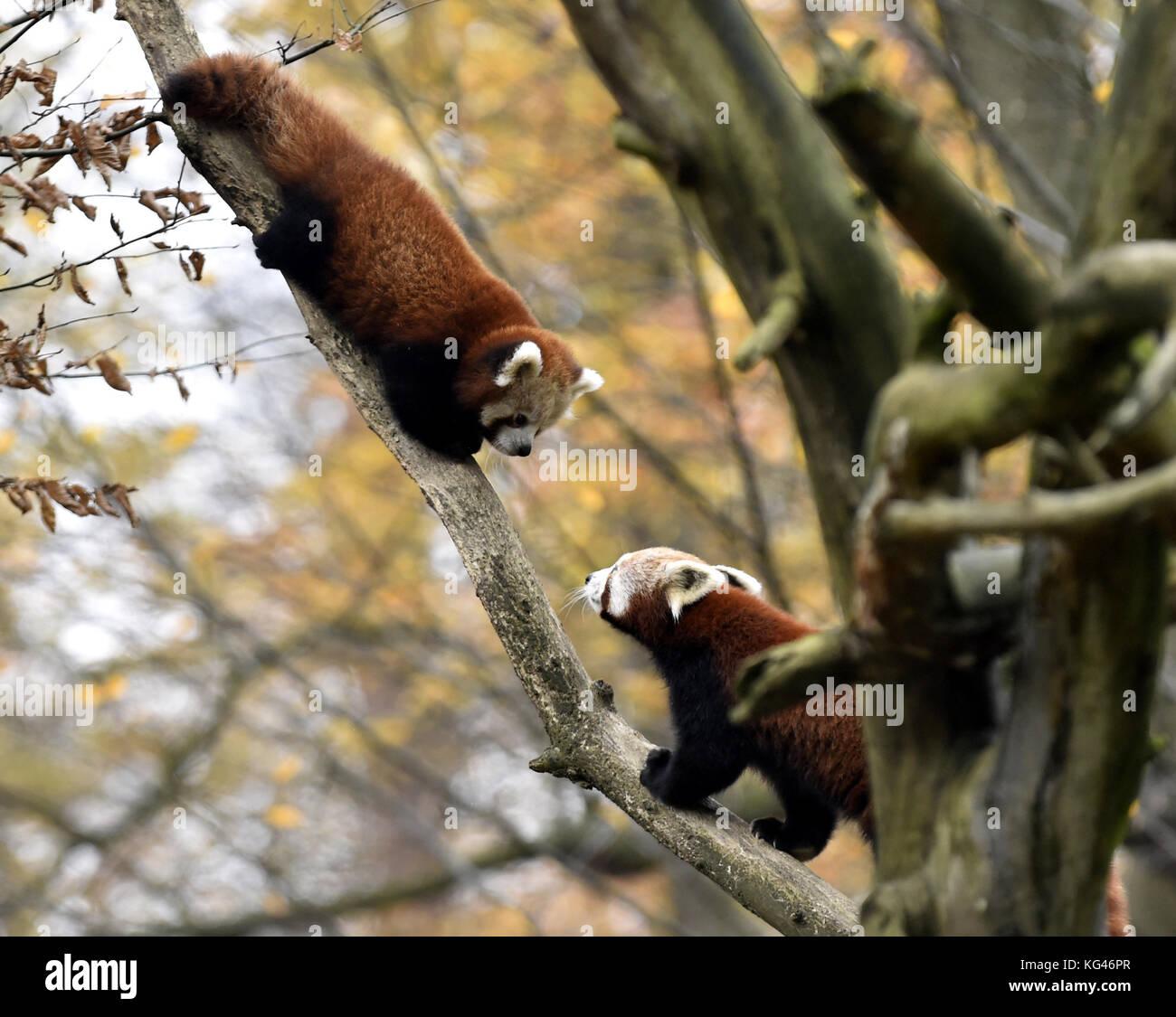 Zlin, Czech Republic. 03rd Nov, 2017. Red panda cub (left) sits in a tree in the zoo Zlin, Czech Republic, November - Stock Image