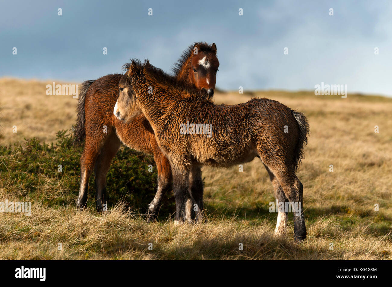 Builth Wells, Powys, Wales, UK. 4th November, 2017. Two Welsh pony foals, bedraggled by a shower, huddle together - Stock Image
