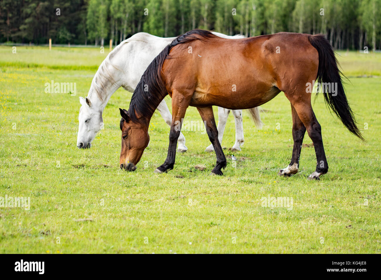 Bay horse and grey horse grazing on a meadow - Stock Image