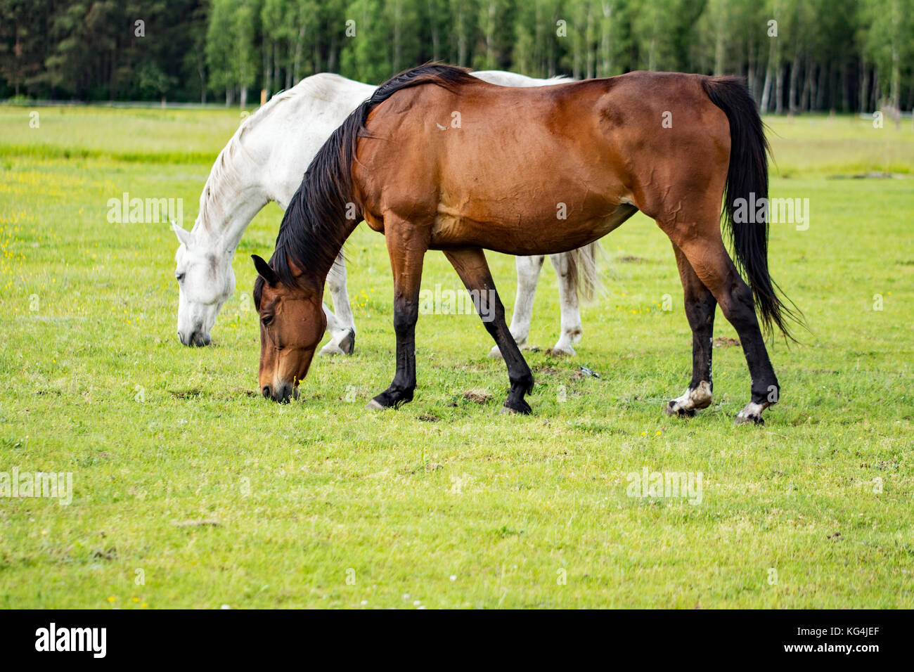 Two beautiful horses grazing on a meadow - Stock Image