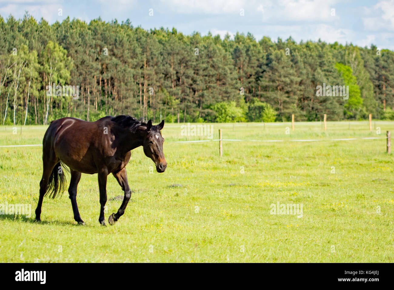 Beautiful dark bay horse walking on a meadow - Stock Image