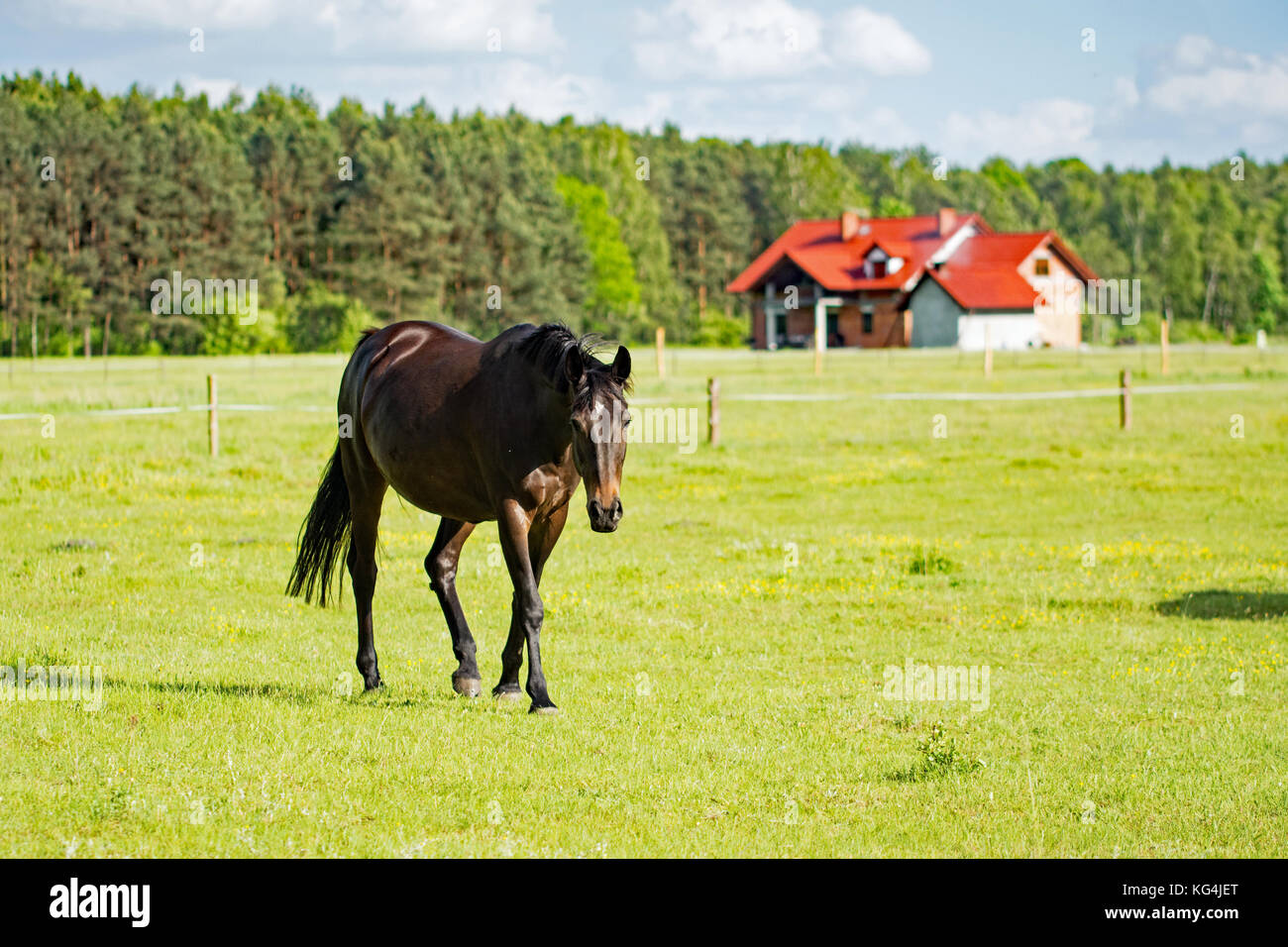 Beautiful dark bay horse walking on a meadow with a house under consrtuction in the background - Stock Image
