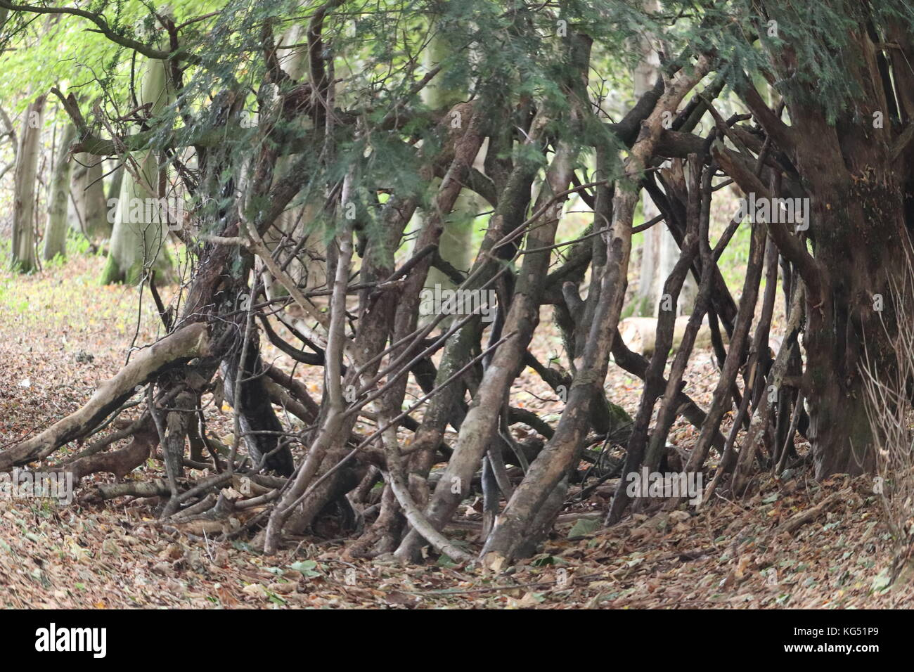 Roses In Garden: Entwined Trees Stock Photos & Entwined Trees Stock Images