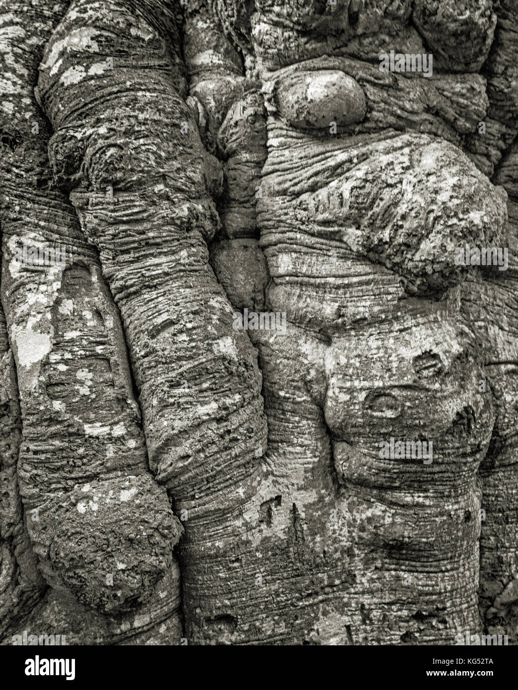 Detail of the trunk of an ancient beech tree Fagus sylvatica in the New Forest in Hampshire UK - Stock Image