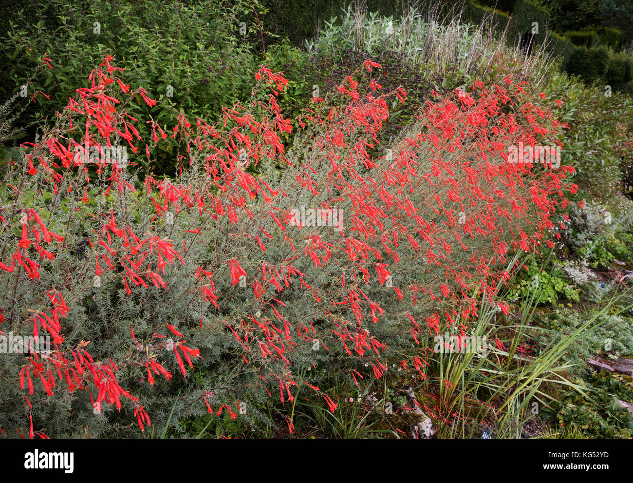 Pine leaf penstemon with coral red flowers and glaucous silver foliage growing in an herbaceous border in an English - Stock Image