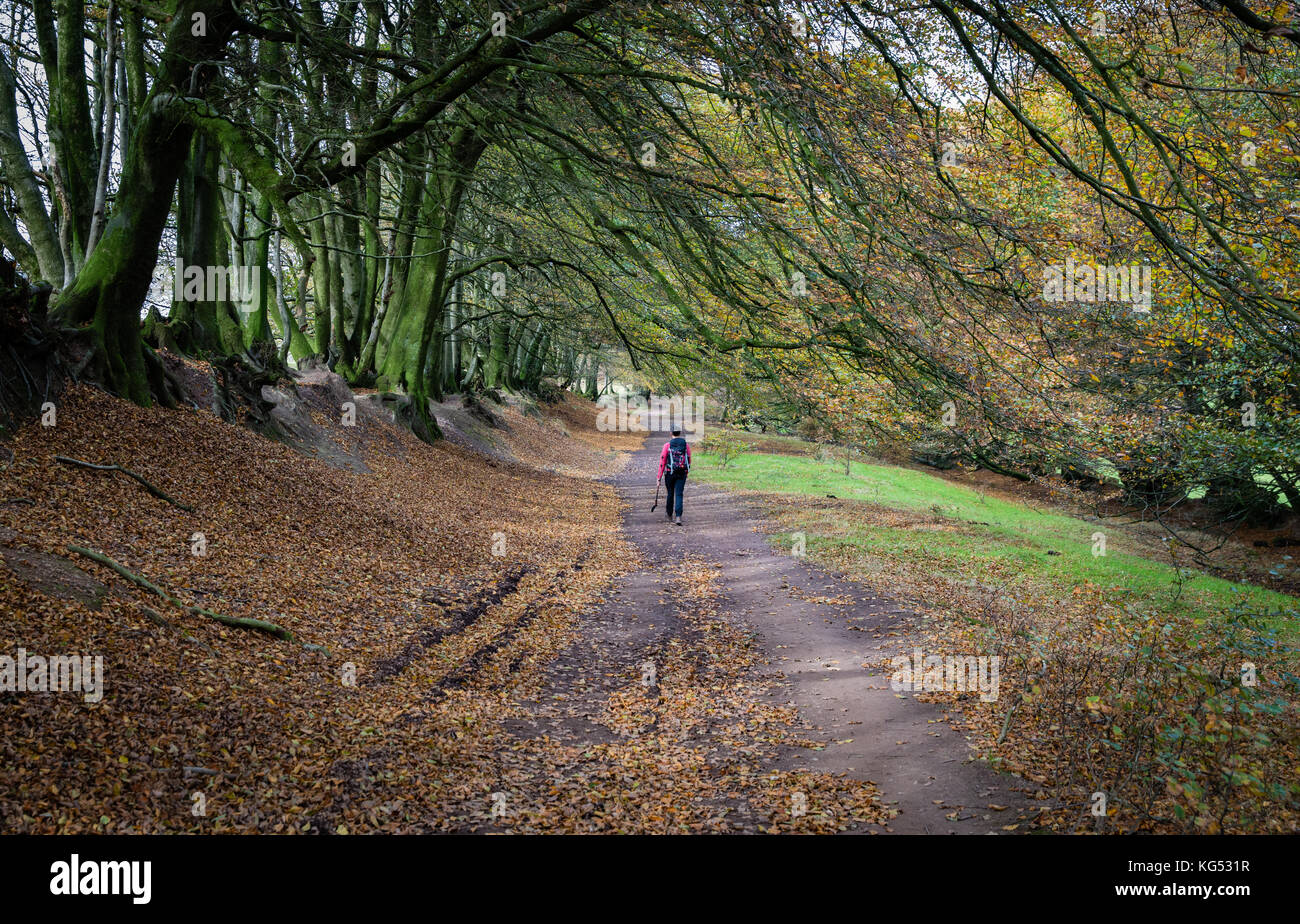 A walker on the wide tree lined drove road along the ridge of the Quantock Hills in Somerset UK Stock Photo