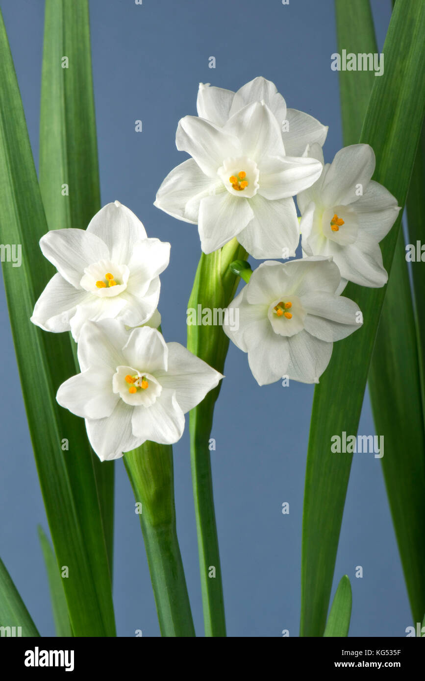 White flowers on a fragrant daffodil, Narcissus 'Paperwhite' grown as a house plant in winter for its smell - Stock Image