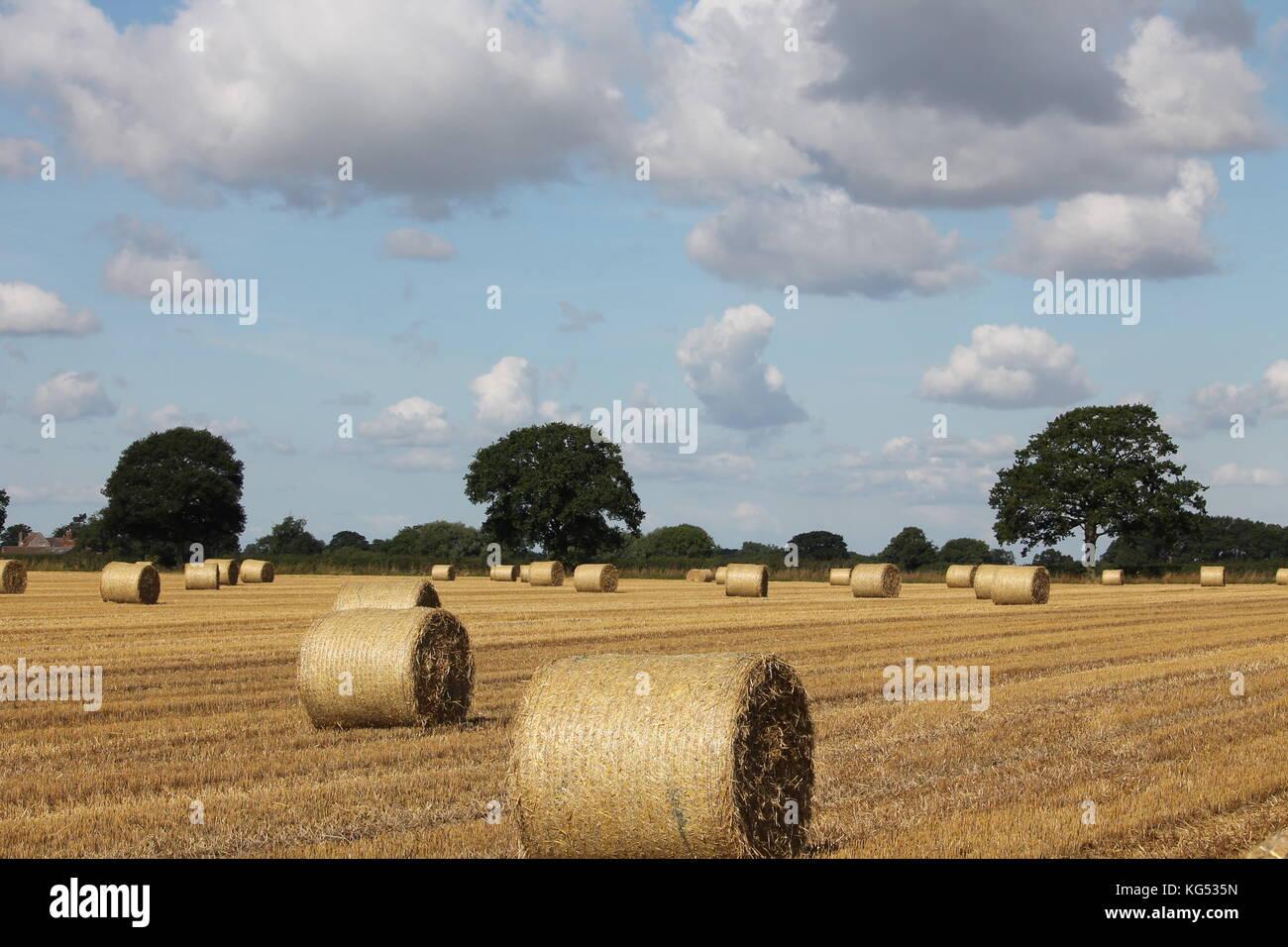 Corn field contrasting sky - Stock Image