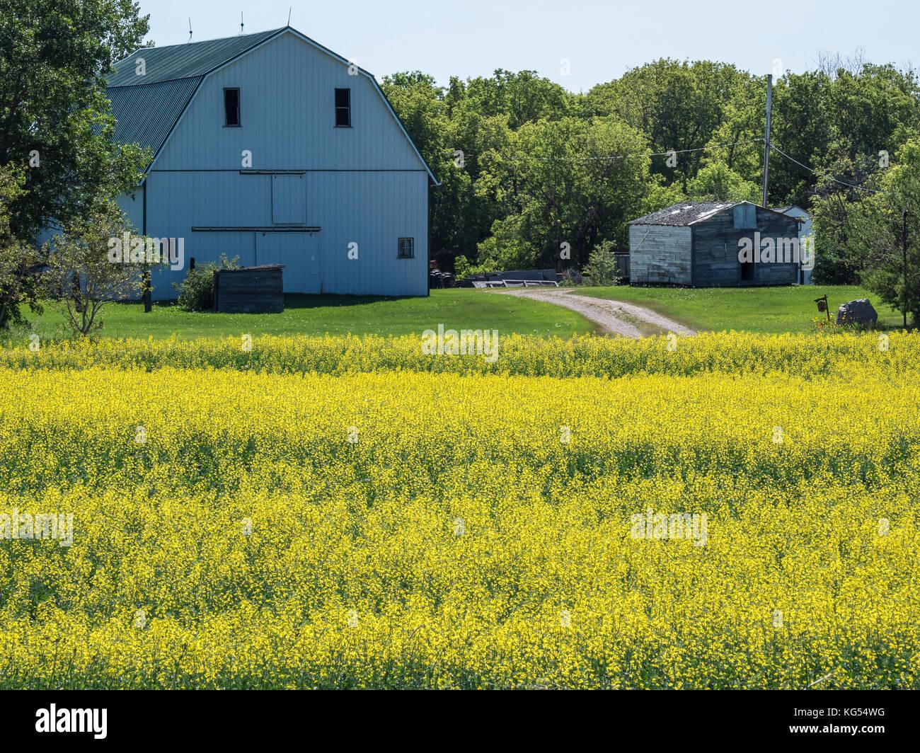 Canola fields and barn along Saskatchewan Highway 15, Saskatchewan, Canada. - Stock Image