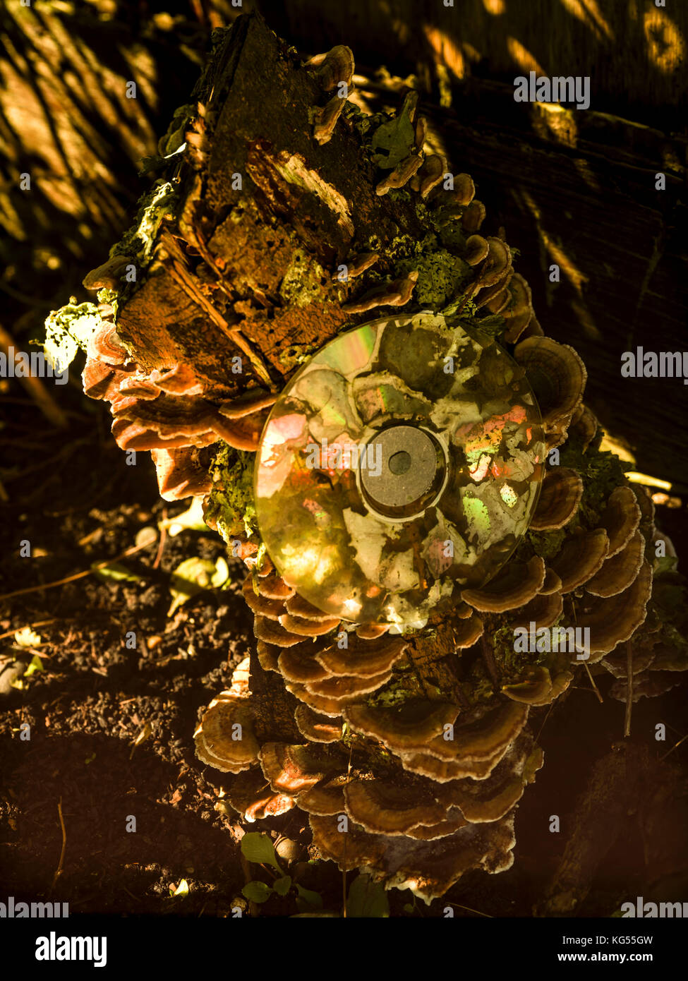 Compact disc covered in fungus on tree stump - Stock Image