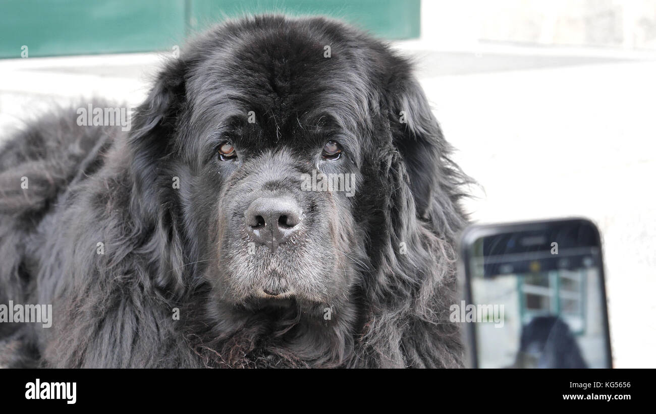 Big black dog being photographed with smartphone by hand holding it, outdoor - Stock Image