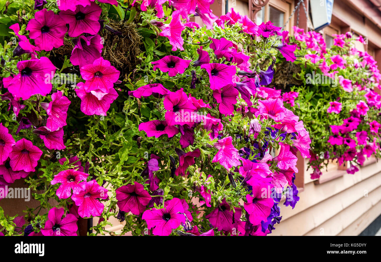 A Row Of Hanging Baskets Overflowing With Beautiful Cerise Petunias