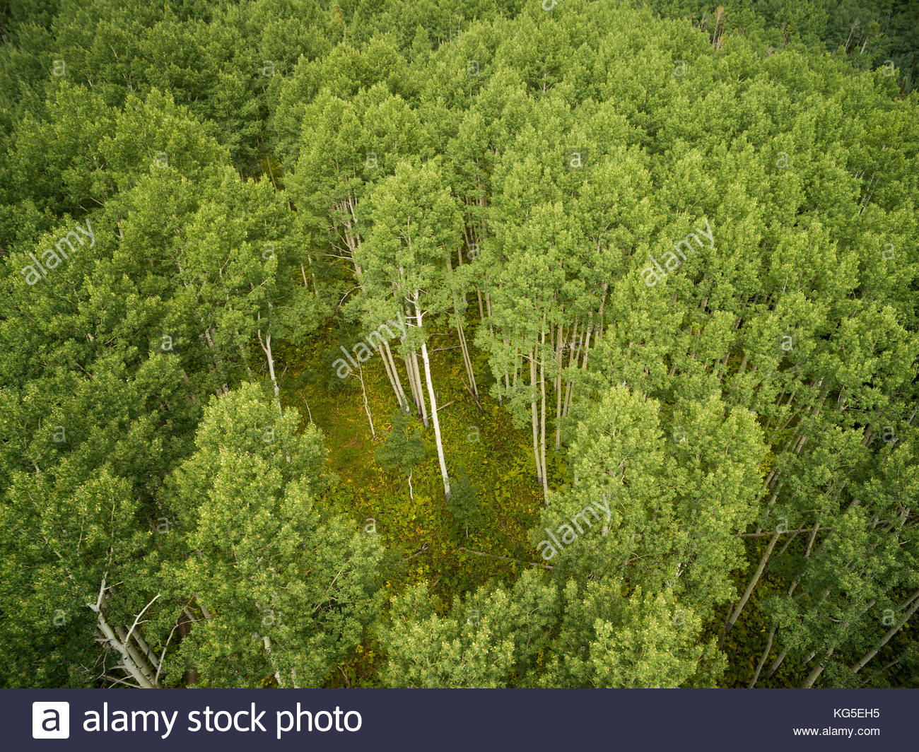 Looking down on a clearing in a Colorado aspen forest at the peak of summer green foliage. - Stock Image