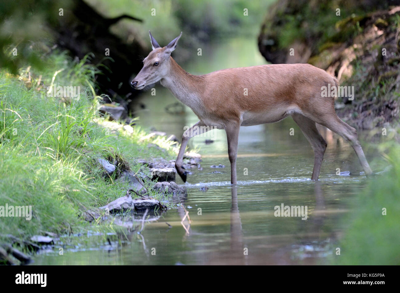 Red deer, Cervus elaphus, hind, brook, - Stock Image
