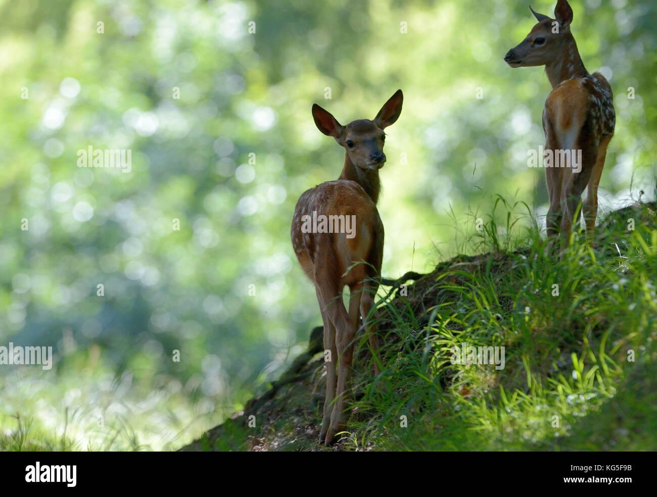 Red deer, Cervus elaphus, fawns, forest, - Stock Image