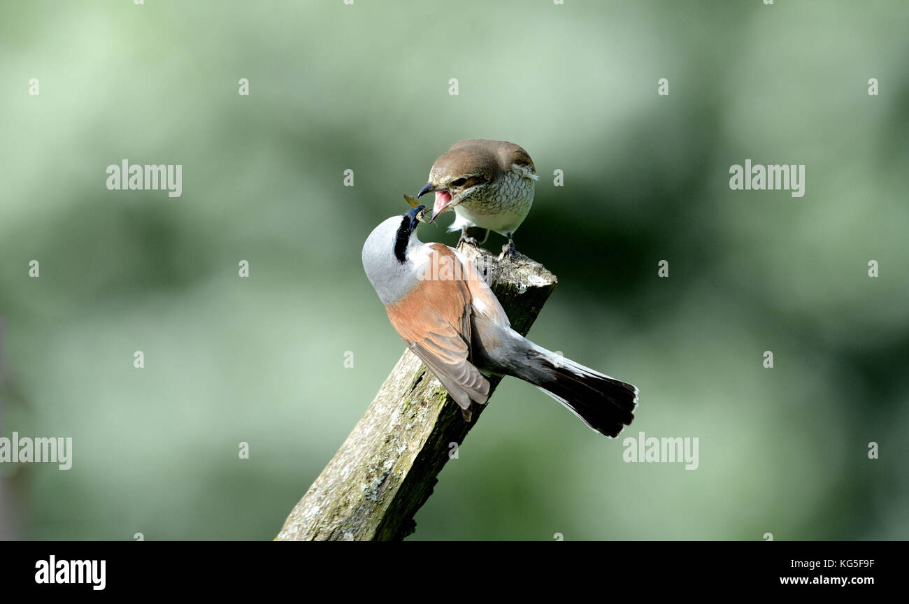 Branch, birds, red-backed shrike, jealousy about food - Stock Image