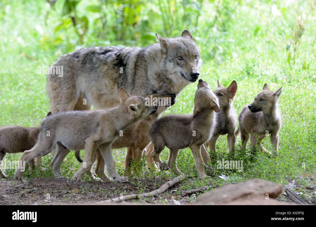 Wolves, Canis lupus, female wolf, young animals, Stock Photo