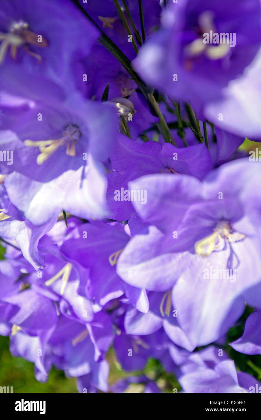 Calyxes of the peach-leaved bellflower, close up - Stock Image