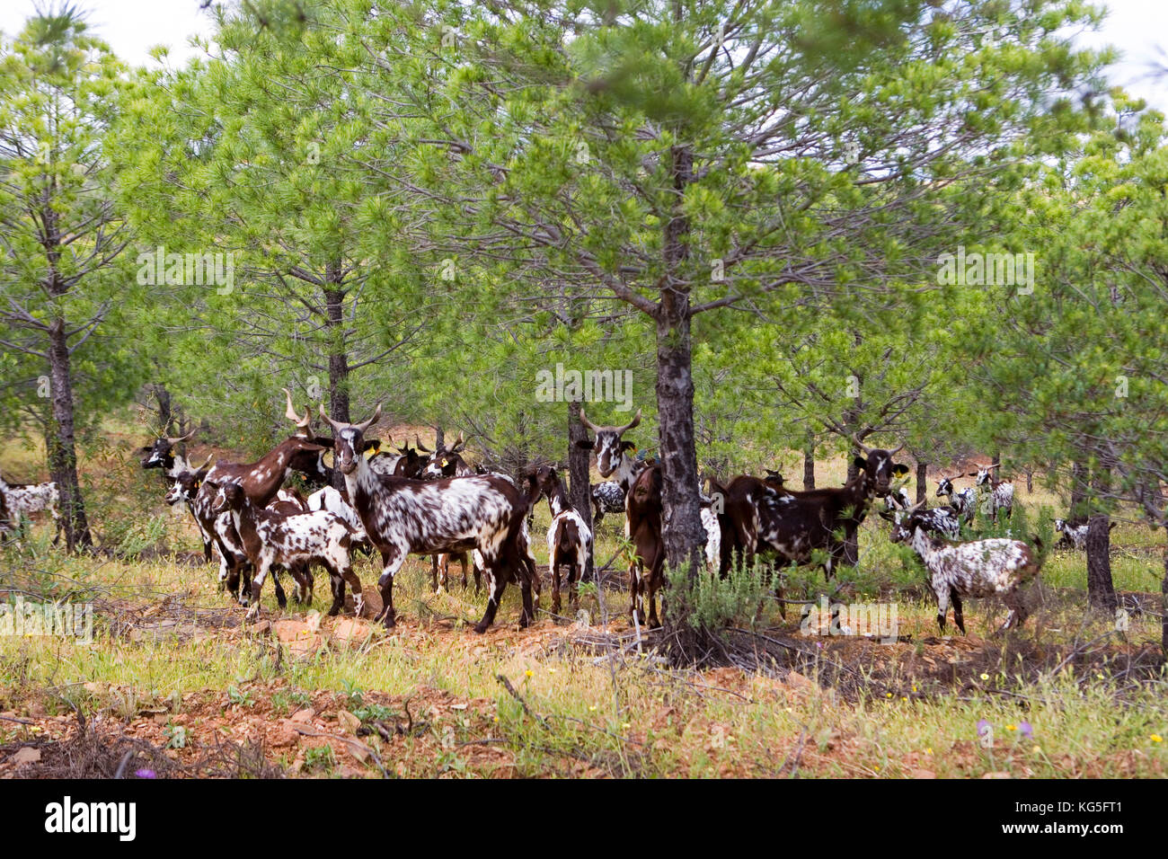 Portugal, travel, Algarve, herd of goats in the pine wood - Stock Image
